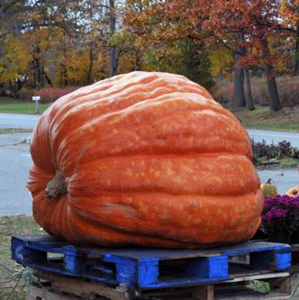Figure 4-7: Giant pumpkin