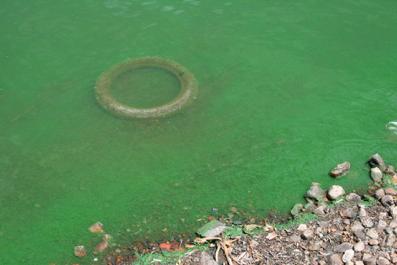 Figure 3-3: Blue-green algae from over-fertilization