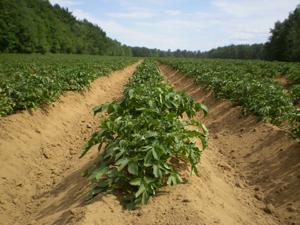 Fig. 4.2: Potato Crop